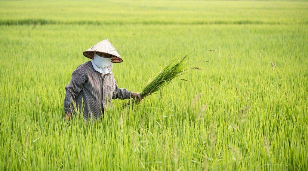 ベトナムの米作農家