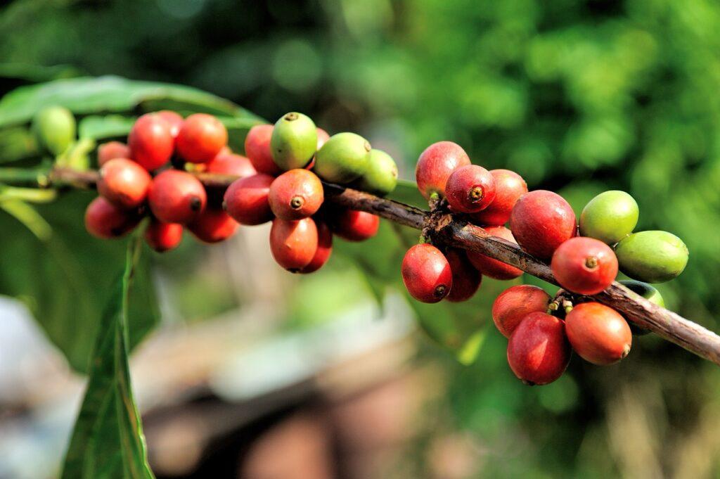 アジアのコーヒー、ベトナムの価格は4年ぶりの高値で推移、インドネシアでは収穫が終わりに近づく